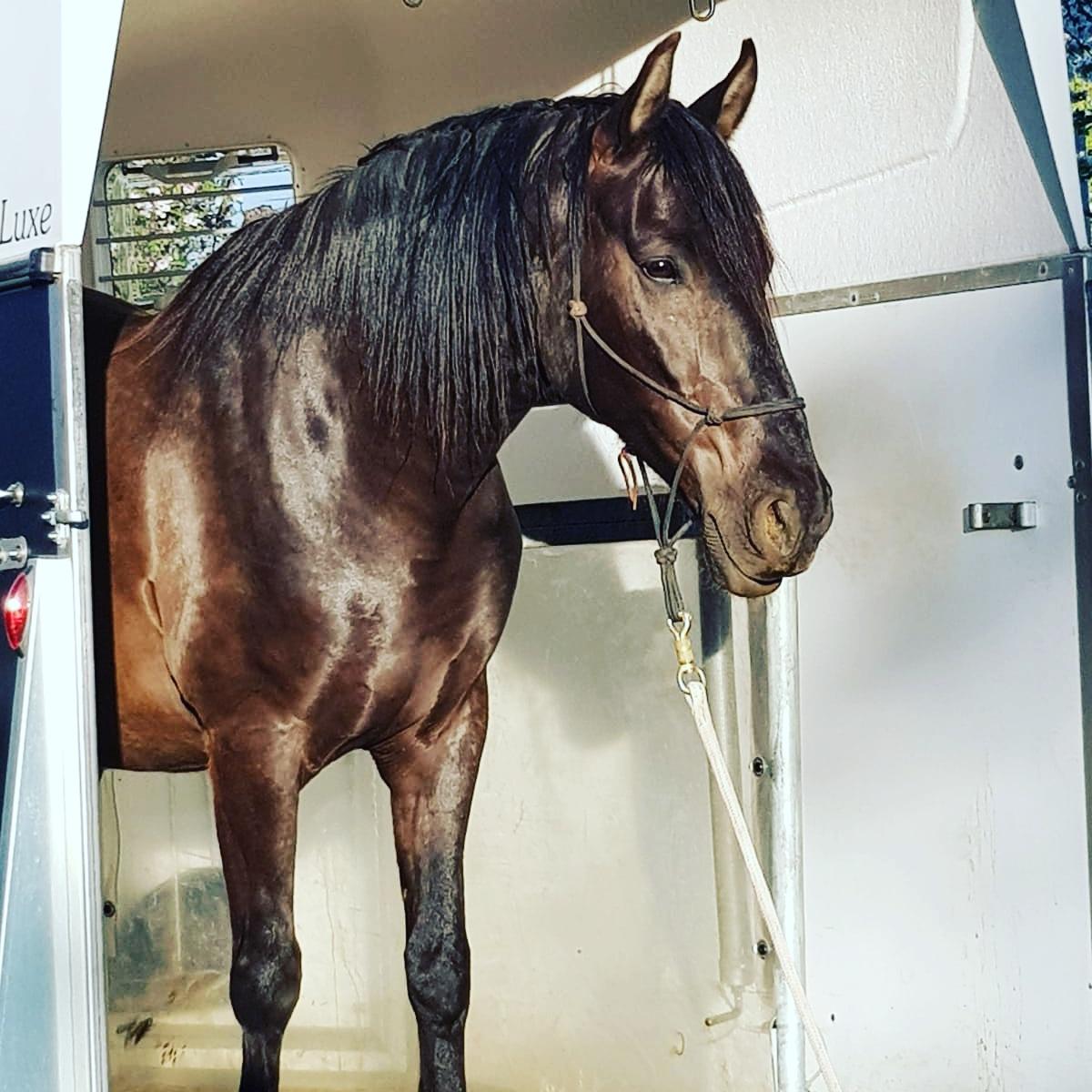 Pferd_Verladen_Haengertraining